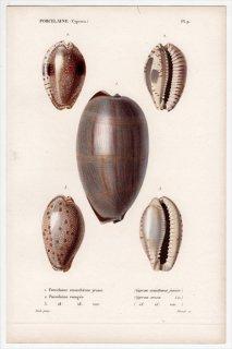 1834年 Kiener 貝殻の一般的な種と図像 Porcelaine Pl.9 タカラガイ科 シマウマダカラ コモンダカラ