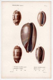 1834年 Kiener 貝殻の一般的な種と図像 Porcelaine Pl.10 タカラガイ科 シマウマダカラ カバフダカラ