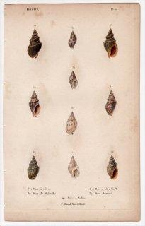 1834年 Kiener 貝殻の一般的な種と図像 Buccins Pl.11 ショクコウラ科 オリイレヨフバイ科 エゾバイ科など5種