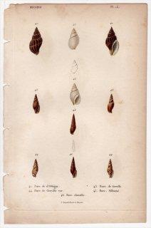 1834年 Kiener 貝殻の一般的な種と図像 Buccins Pl.13 ベッコウバイ科 エゾバイ科 ゴマフニナ科 タモトガイ科など5種