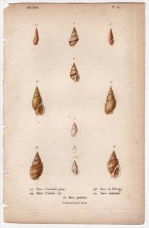 1834年 Kiener 貝殻の一般的な種と図像 Buccins Pl.14 タモトガイ科 オリイレヨフバイ科など5種