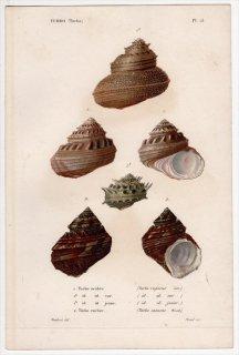 1834年 Kiener 貝殻の一般的な種と図像 Turbo Pl.15 リュウテン科 ハリサザエ属 リュウテン属 4種