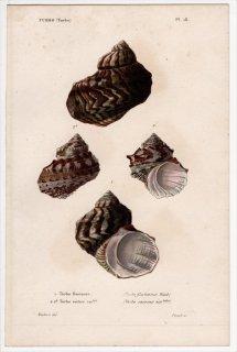 1834年 Kiener 貝殻の一般的な種と図像 Turbo Pl.16 リュウテン科 リュウテン属 Turbo 2種