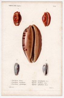 1834年 Kiener 貝殻の一般的な種と図像 Porcelaine Pl.16 タカラガイ科 ムラクモダカラ スリナムダカラ属 ヒロクチダカラなど3種