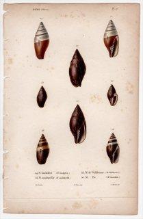 1838年 Kiener 貝殻の一般的な種と図像 Mitre Pl.17 フデガイ科 ヤタテガイ属 ヤタテガイ ツクシガイ科 ウェキシルム属など4種