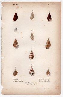 1834年 Kiener 貝殻の一般的な種と図像 Buccins Pl.21 オリイレヨフバイ科 オリイレヨフバイ属 トリチア属 フロンチス属など5種