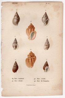 1834年 Kiener 貝殻の一般的な種と図像 Buccins Pl.23 オリイレヨフバイ科 ベッコウバイ科など4種