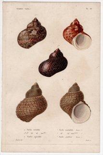 1834年 Kiener 貝殻の一般的な種と図像 Turbo Pl.26 リュウテン科 リュウテン属 Turbo 2種 タツマキサザエ