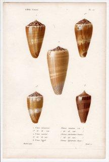 1834年 Kiener 貝殻の一般的な種と図像 Cone Pl.27 イモガイ科 イモガイ属 Conus 3種