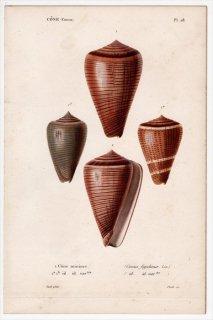1834年 Kiener 貝殻の一般的な種と図像 Cone Pl.28 イモガイ科 イモガイ属 スジイモ Conus figulinus