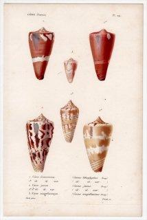 1834年 Kiener 貝殻の一般的な種と図像 Cone Pl.29 イモガイ科 イモガイ属 ナガサラサミナシ イナリイモガイなど3種