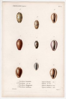 1844年 Kiener 貝殻の一般的な種と図像 Porcelaine Pl.32 タカラガイ科 サバダカラ属 コムラサキダカラ属 ゾナリア属など3種