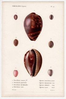 1834年 Kiener 貝殻の一般的な種と図像 Porcelaine Pl.47 タカラガイ科 ハチジョウダカラ シラタマガイ科 コーヒーシラタマガイなど4種