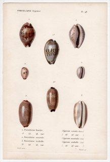 1834年 Kiener 貝殻の一般的な種と図像 Porcelaine Pl.48 タカラガイ科 タカラガイ属 ルリア属 シラタマガイ科など3種