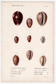 1834年 Kiener 貝殻の一般的な種と図像 Porcelaine Pl.49 タカラガイ科 ハナマルユキ アヤメダカラ テンジクダカラ 3種