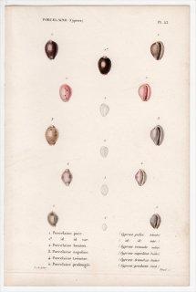 1844年 Kiener 貝殻の一般的な種と図像 Porcelaine Pl.53 シラタマガイ科 トリウィア属 ニウェリア属 プルプルカプスラ属など5種