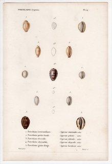 1844年 Kiener 貝殻の一般的な種と図像 Porcelaine Pl.54 シラタマガイ科 シラタマガイ タカラガイ科 ヒナメダカラなど5種