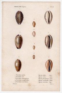 1845年 Kiener 貝殻の一般的な種と図像 Porcelaine Pl.56 タカラガイ科 モヨウダカラ クロホシダカラ テツアキチドリダカラなど5種