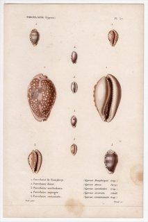 1845年 Kiener 貝殻の一般的な種と図像 Porcelaine Pl.57 タカラガイ科 ホシキヌタ アオナツメダカラ コムラサキダカラなど5種