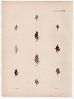 1845年 Reeve 貝類図譜 Murex Pl.32 アッキガイ科 ヒシヨウラク属 ワウグチア属 オラニア属 デルモムレクス属など9種