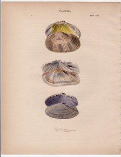 1841年 Reeve 貝類分類学 Psammobia Pl.53 シオサザナミガイ科 シオサザナミ属 ハスメヨシガイ マスオガイ シオサザナミ