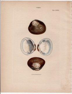1841年 Reeve 貝類分類学 Cyrena Pl.63 シジミ科 ヒルギシジミ属 Cyrena sumatrensis