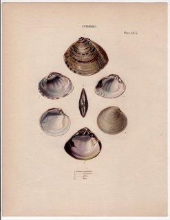 1841年 Reeve 貝類分類学 Cytherea Pl.70 マルスダレガイ科 シナハマグリ ホソスジイナミガイ ベニワスレガイなど4種