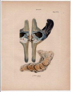 1841年 Reeve 貝類分類学 Malleus Pl.107 シュモクガイ科 シュモクガイ属 2種 クロシュミセン