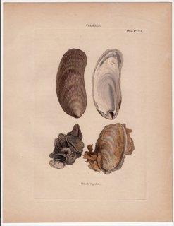 1841年 Reeve 貝類分類学 Vulsella Pl.108 ウグイスガイ科 ウルセッラ属 ホウオウガイ Vulsella lingulata