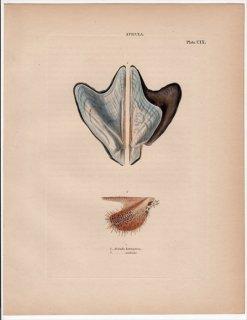 1841年 Reeve 貝類分類学 Avicula Pl.109 ウグイスガイ科 ウグイスガイ属 2種 ウグイスガイ
