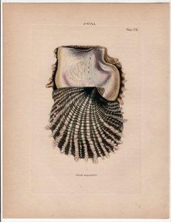 1841年 Reeve 貝類分類学 Avicula Pl.110 ウグイスガイ科 アコヤガイ属 クロチョウガイ Avicula margaritifera
