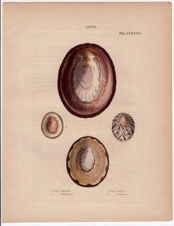 1842年 Reeve 貝類分類学 Lottia Pl.137 ユキノカサガイ科 3種 ヨメガカサガイ科 1種