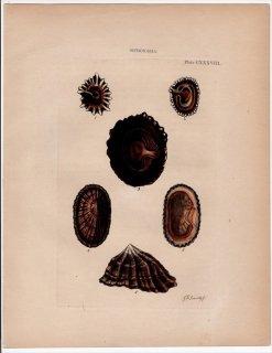 1842年 Reeve 貝類分類学 Siphonaria Pl.138 カラマツガイ科 カラマツガイ属 4種 ベンハミナ属 1種