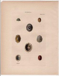 1842年 Reeve 貝類分類学 Emarginula Pl.140 スカシガイ科 スソキレガイ属 クリピディナ属 モントフォルチア属など7種