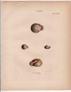 1842年 Reeve 貝類分類学 Anostoma Pl.169 オニグチギセル科 リンギケッラ属 Ringicella ringens