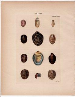 1842年 Reeve 貝類分類学 Navicella Pl.199 アマオブネガイ科 フネアマガイ属など9種