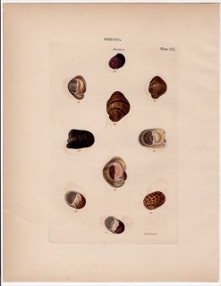 1842年 Reeve 貝類分類学 Neritina Pl.200 アマオブネガイ科 イシマキガイ属 クリペオルム属 カバクチカノコガイ属など5種