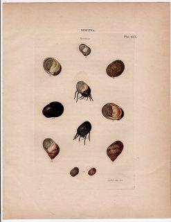 1842年 Reeve 貝類分類学 Neritina Pl.201 アマオブネガイ科 カバクチカノコガイ属 イシマキ属 ネレイナ属など5種