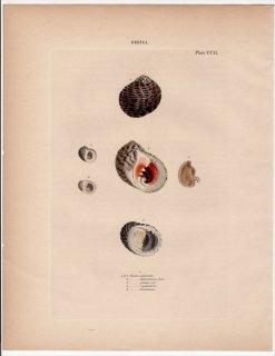1842年 Reeve 貝類分類学 Nerita Pl.202 アマオブネガイ科 コシタカアマガイ属 プセウドドスチア属など5種