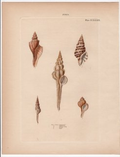 1842年 Reeve 貝類分類学 Fusus Pl.232 イトマキボラ科 テングニシ科 フタカドクダマキ科など5種