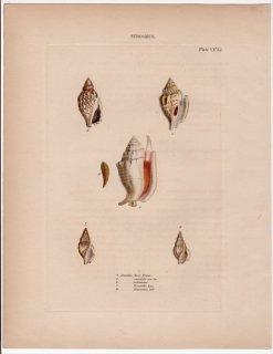 1842年 Reeve 貝類分類学 Strombus Pl.251 スイショウガイ科 3種 ロステラリア科 2種 マイノソデガイ モンツキソデガイ