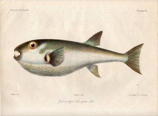 1862年 Bleeker ギニア沿岸の魚類誌 Pl.2 フグ科 サバフグ属 シロカナフグ Gastrophysus laevigatus