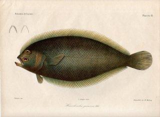 1862年 Bleeker ギニア沿岸の魚類誌 Pl.3 ヒラメ科 ハナグロダルマガレイ属 Hemirhombus guineensis
