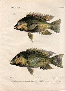 1862年 Bleeker ギニア沿岸の魚類誌 Pl.6 カワスズメ科 サロテロドン属 Melanogenes microcephalus ティラピア