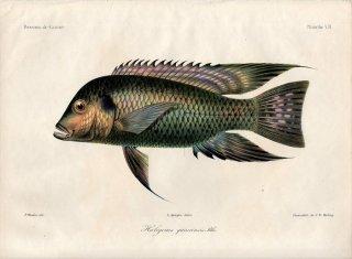 1862年 Bleeker ギニア沿岸の魚類誌 Pl.7 カワスズメ科 コプトドン属 Haligenes guineensis ティラピア