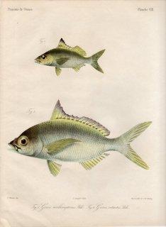 1862年 Bleeker ギニア沿岸の魚類誌 Pl.8 クロサギ科 タイセイヨウサギ属 クロサギ属 2種
