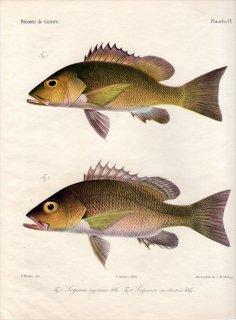 1862年 Bleeker ギニア沿岸の魚類誌 Pl.9 フエダイ科 フエダイ属 Lutjanus 2種
