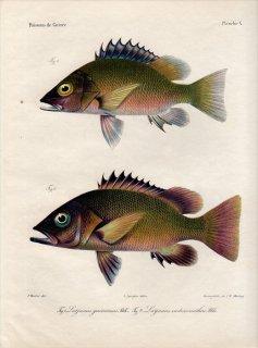 1862年 Bleeker ギニア沿岸の魚類誌 Pl.10 フエダイ科 フエダイ属 Lutjanus 2種