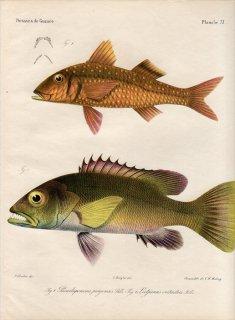 1862年 Bleeker ギニア沿岸の魚類誌 Pl.11 ヒメジ科 ベニヒメジ属 Pseudupeneus 1種 フエダイ科 フエダイ属 Lutjanus 1種