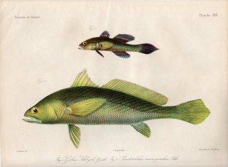 1862年 Bleeker ギニア沿岸の魚類誌 Pl.13 ハゼ科 ポロゴビウス属 1種 ニベ科 プセウドトリツス属 1種
